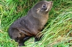 A baby seal. File photo / Anne White