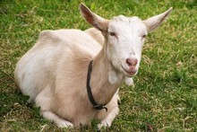 For $50 you can give a live goat this Christmas.  Photo / Thinkstock