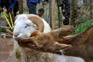 A ram named Changmao has formed an inseparable bond with a female deer named Chunzi. Photo / AFP