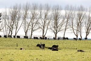 Crafar Farm cattle. Photo / Christine Cornege