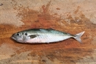 Jack mackerel, or yellowtail as they are often called, are a favourite bait for big snapper. Photo / Supplied