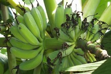 Once a banana stem fruits, it should be cut back so other shoots can grow. Photo / Hawkes Bay Today