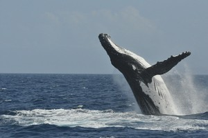 A humpback whale and her calf put on a spectacular display in the Hauraki Gulf. Photo / Krista Blackmore/Explore NZ