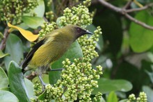 A bellbird on patrol. Photo / Jim Eagles