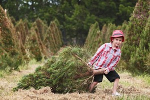 Going to choose a Christmas tree is a great activity to do as a family, and can involve the kids right through the whole process. Photo / Greg Bowker