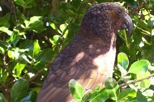 The inquisitive kaka rules the roost on Kapiti Island. Photo / Leeanne Templer