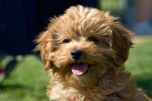 Too cute: Cavoodles are highly popular. Photo / ThinkStock
