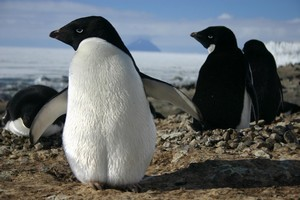 Adelie penguins live in the coldest environment on earth. Photo / James Borrowdale
