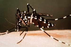 A warning had been issued by MAF for the Asian Tiger Mosquito (pictured) but calls to a dedicated hotline didn't impress a Tauranga family. Photo / NZ Herald