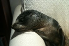The seal pup made itself comfortable - to the surprise of marine experts. Photo / supplied