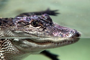 One of the two 5-year-old alligators settles into the National Aquarium in Napier. Photo / APN