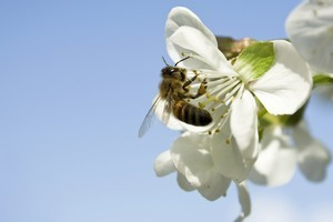 If you want to have fruit, you've got to have bees. Photo / Thinkstock