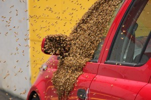 Bees swarmed around this car in the St Lukes area yesterday. Photo / Supplied