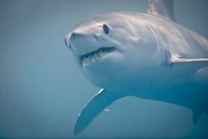 A Mako Shark. Photo / Richard Robinson