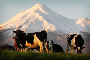 The dairy herd topped six million head of cattle for the first time this year. Photo / File