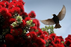 A starling drops in to check out the new crop of pohutukawa flowers for a midday meal. Photo / Alan Gibson