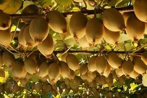 Gold kiwifruit. Photo / APN