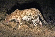 A leopard, blood smeared on its muzzle from a recent kill, stalks through the grass. Photo / Jill Worrall