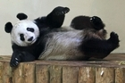 Tian Tian  stretches after eating the 'panda cake' she got for Christmas. Photo / AP