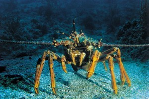 Crays can usually be found around the coast of Waiheke Island. Photo / File
