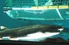 The Shark Cage in Kelly Tarltons allows you to get close to residents of the underwater world. Photo / Greg Bowker