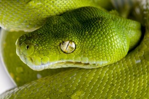 A Czech man has been charged in Argentina for trying to board a transatlantic flight with 247 live animals including poisonous snakes and endangered reptiles packed in a bulging suitcase. Photo / Thinkstock