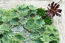 Succulents make an attractive feature in any garden and have a redoubtable ability to get through dry periods. Photo / Supplied