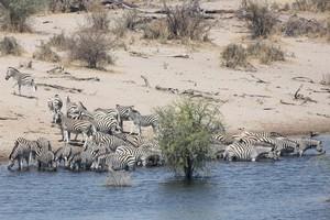 Burchell's zebra at the Boteti River in Botswana. Photo / Jill Worrall