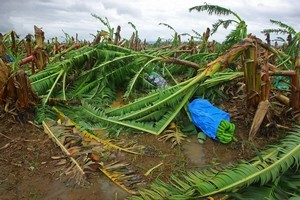 Damaged banana trees lay in a plantation on the outskirts of Innisfail in Innisfail, Australia. Photo / Getty Images
