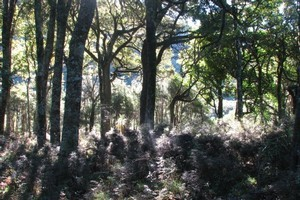 Aorangi forest. Photo / Royal Forest and Bird Protection Society of NZ
