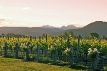 Herzog wineyard. Photo / Supplied