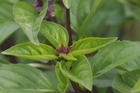 Basil is a delicious herb but unfortunately slugs seem to think so too. Photo / Hawkes Bay Today