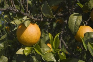 Water fruit trees at least twice a week to keep them happy. Photo / Thinkstock