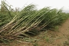 Cyclone Yasi an ill wind for global sugar