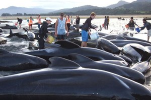Volunteers help keep the beached whales hydrated at Puponga Point on Friday. Photo / Serge Zollinger