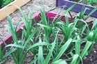 It's time to plant seedling leeks for winter as they take a long time to grow. Photo / Wairarapa Times-Age