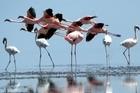 Lesser flamingos on Lake Natron, Tanzania. Photo / Clare Kendall