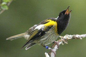 The hihi bird is a much-loved species. Photo / Supplied