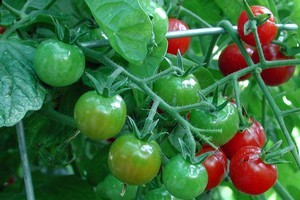 Pick cherry tomatoes daily as they ripen. Photo / Supplied