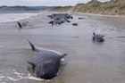 The stranded whales. Photo / Otago Daily Times