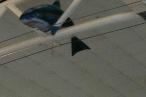 The friendly shark became wedged in ceiling rafted of the Auckland International Airport. Photo / Helen Gower