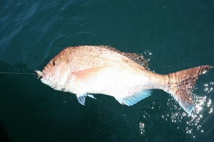 This Hauraki Gulf snapper was hooked on a ledger rig while drifting slowly. Photo / Geoff Thomas