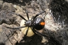 The native katipo, like the redback, can give a nasty bite but is so shy that few people are bitten. Photo / Supplied