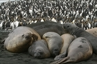Elephant seals and royal penguins co-exist on sub-Antarctic Macquarie Island. Photo / Jim Eagles