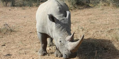 Around 150 rhinos can now be found in northwestern Namibia, living under the protection of the Save the Rhino Trust (SRT). Photo / Thinkstock