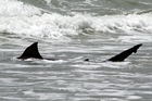 Sharks like the 2m bronze whaler spotted at Papamoa Beach yesterday are thought to be being lured by lamb roasts spilled from the cargo ship Rena. Photo / Richard Moore