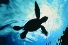 Turtle hatchling in the water at the Mon Repos sea turtle rookery in Queensland, Australia. Photo / Bundaberg RTO