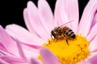 The humble honeybee needs your help. Photo / Thinkstock