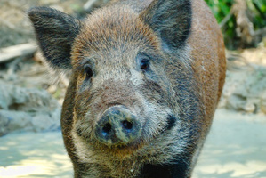 Boars are back in Britain after hundreds of years. Photo / Thinkstock