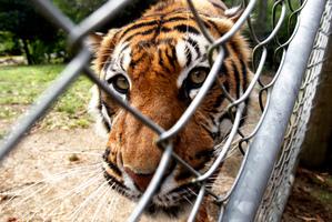 Jaka the 12-year-old Sumatran tiger at Hamilton Zoo. Photo / Christine Cornege